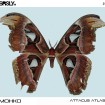 attacus atlas ep